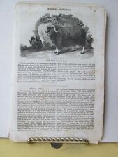 Vintage Print,MUSK OX,American Magazine Useful Knowledge,1834
