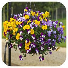 "Pansy Freefall Mixed Mini Plug Plants x 24 For Potting On ""Hanging Baskets"""