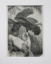 Cockatoos Parrots - Antique Victorian B/W Print, Wood Engraving, Mounted