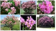 Pink Flowered * Crepe Myrtle Bush Tree Shrub * 25 + Seeds