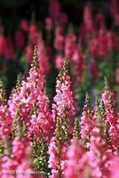 Snapdragon- Pink- 100 seeds