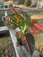 Red Chinese Evergreen Plant, comes with Nursery Pot