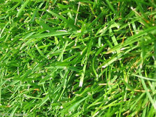 "Argentine Bahia Grass Seeds ""Premium Grade"" 5 Lbs"