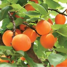 Apricot variety mix prunus, flowering fruit tree, self pollinating 4 seeds