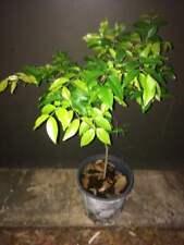 Seedling, Red Jabuticaba Plinia hybrid Jaboticaba Tree Fruits Quickly Myrciaria