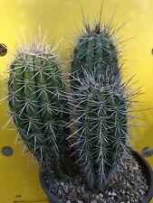 Pachycereus pringlei XXL 3 arms. OLD OWN ROOTS echinopsis copiapoa Aztekium