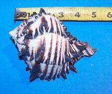 """1 - 4""""+ Genuine Black Murex Seashells Hermit Crab Wedding Item # blkm-4"""