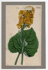 Ligularia sibirica  Curtis Botanical 1817 Hand Colored Engraving