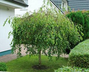 Betula pendula Youngii Trauerbirke Hängebirke Birke versch. Größen auf Stamm
