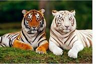 Tiger braun weiß Tier Magnet 3 D Tiefenoptik 9 cm Kühlschrank Souvenir,Neu