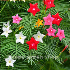 MORNING GLORY MIX - CYPRESS VINE - 60 seeds - Ipomoea quamoclit CLIMBING FLOWER