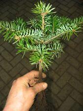 Abies nordmanniana Tlugi 4j 1 St Nordmanntanne Tanne  Weihnachtsbaum Christbaum