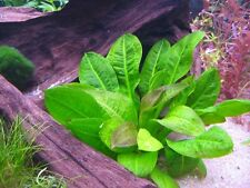 Echinodorus Parviflorus Tropica Live Aquarium Plants Dwarf Amazon Sword Rosette