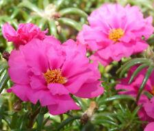 MOSS ROSE PINK Portulaca Grandiflora - 1,250 Bulk Seeds