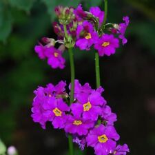 Flower -  Primula Beesiana - 100 Seeds
