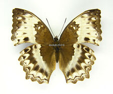 Unmounted Butterfly/Nymphalidae - Harma theobene, FEMALE, CAR