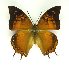 Unmounted Butterfly/Nymphalidae - Charaxes amycus georgius, male, A1/A-