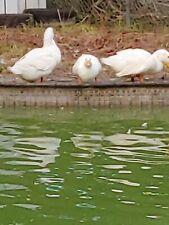 Half Dozen Pekin Duck Fertile Hatching Eggs