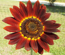 SUNFLOWER VELVET QUEEN Helianthus Annuus - 200 Bulk Seeds