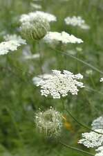 Queen Anne-s Lace / Wild Carrot (Daucus carota) 1 gr seeds