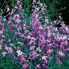 FLOWER STOCKS NIGHT SCENTED  10 GRAM ~ APPROX 12,000 SEEDS (MATTHIOLA BICORNIS)