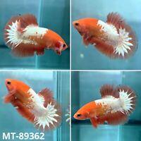 (MT-89362) White Fancy Copper Star Tail - Live Male Plakat HM Betta Fish Grade A
