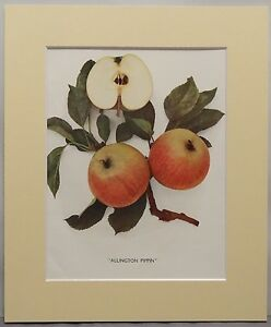 APPLES OF ENGLAND.Vintage Mounted Print, Numerous Species.
