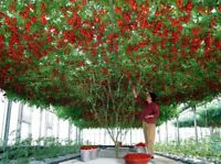 25x Tomatenbaum Baumtomate Solanum betaceum Samen Garten Pflanze #98