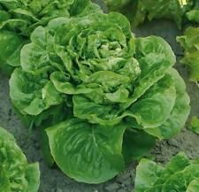 500pcs Butter Lettuce seeds easy to sow Leaf Salad Organic Green Vegetable