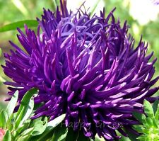 CHINA ASTER - NEEDLE PURPLE - 300 seeds - Callistephus Chinensis