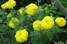 Mexican Marigold - Lemon Yellow Tagetes - Lemon Prince - 20+ seeds - EDIBLE!