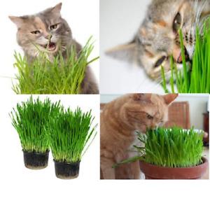 Organic Cat Grass 14  DAYS TO GROW BUY 2 GET 2 FREE Cat capnit