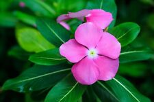 Vinca Rosea Periwinkle Perennial Flowers 100 PCS Beautiful Flowers Bonsai Home