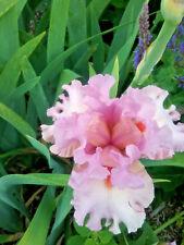 Tall Bearded Iris DESIGNER LABEL (bare rooted rhizome)
