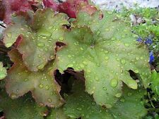 1200 CORAL BELLS - Prairie Alumroot HEUCHERA Richardsonii Shade Flower Seeds