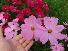 COSMOS VARIADO  (Cosmos bipinnatus) 200 semillas,seeds