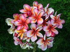 "PLUMERIA ""LAI NAMTARN"" Fragrant Flower Frangipani PLANT"