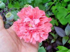100 Double Pink Peony Poppy Seeds - Papaver Peoniflorum