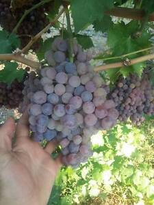 PINK RELIANCE SEEDLESS GRAPES 3 FRESH CUTTINGS