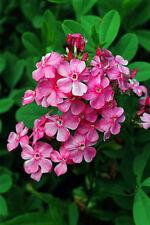 2 Garden Phlox Plant - EVA CULLUM - Gallon Size