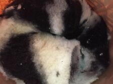 JACOB SHEEP RAW FLEECE - UNWASHED - BLACK AND WHITE SHEEP FLEECE, PIEBALD