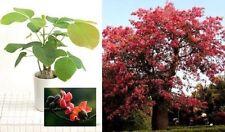 Bombax Baum Blühpflanze Pflanze für das Haus die Hängeampel den Balkon Hof Düfte