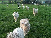Country Hues Mohair Farm