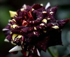 Black Dragon Rose Bush Seeds - Rare, Exotic & Beautiful  (20+ pc) USA SELLER