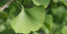 Ginkgo Biloba (árbol de culantrillo) - 10 semillas-Fácil de crecer