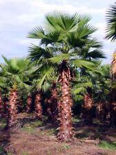 2xWashingtonia robusta PALMA MEXICAN PALM ornamental plant tree