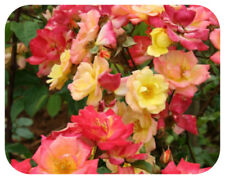 Rose Bare Root Plant 'Masquerade' Climbing Double Red Yellow Pink