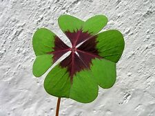 4 bulbes de TREFLE A QUATRE FEUILLES (Oxalis Deppei)B105 GOOD LUCK PLANT BULBS
