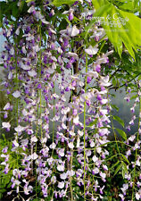 Blauregen - Wisteria - Glyzine floribunda 'Macrobotrys' 80 - 100 cm