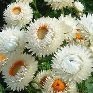 Helichrysum or Xerochrysum bracteatum 'White' / Everlastings / 500 Seeds
